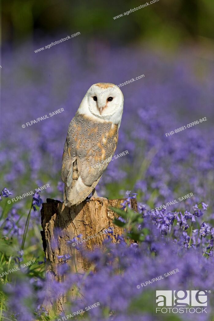 Imagen: Barn Owl (Tyto alba) adult, perched on stump among Bluebell (Hyacinthoides non-scripta) flowers, Suffolk, England, May (controlled subject).