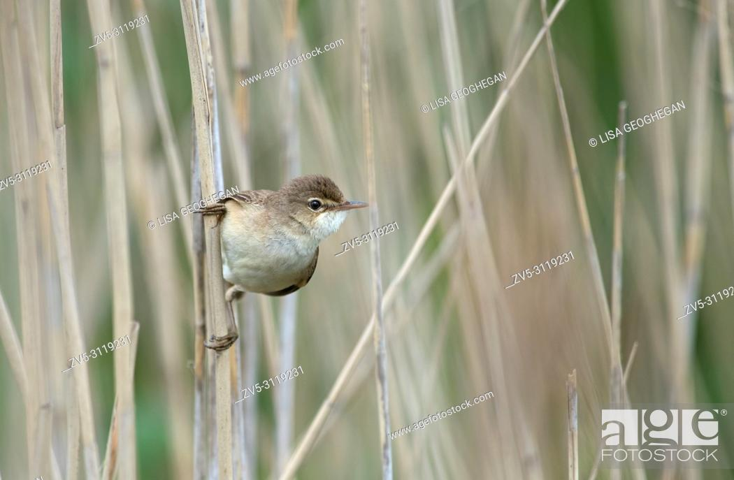 Reed Warbler Acrocephalus Scirpaceus Spring Uk Stock Photo Picture And Rights Managed Image Pic Zv5 3119231 Agefotostock