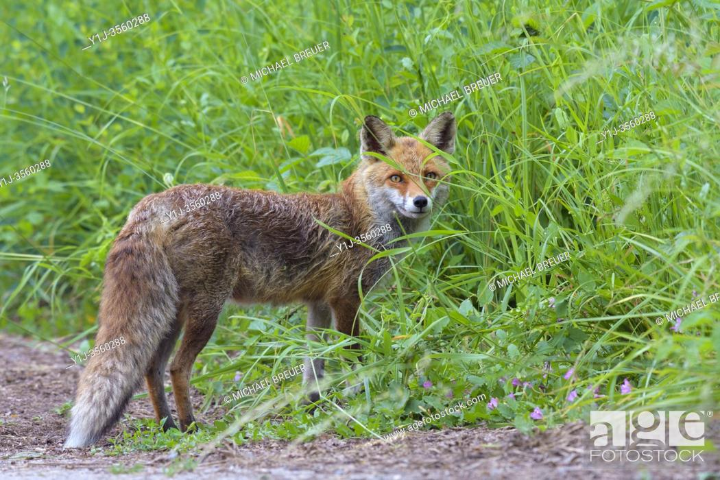 Stock Photo: Red fox (Vulpes vulpes) on meadow, Summer, Hesse, Germany, Europe.