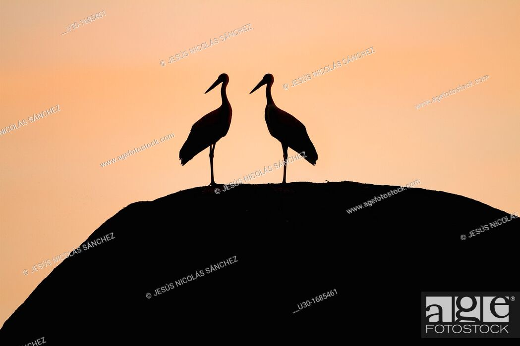 Stock Photo: White storks Ciconia ciconia at dusk in Los Barruecos Monument Park, Cáceres province  Extremadura  Spain.