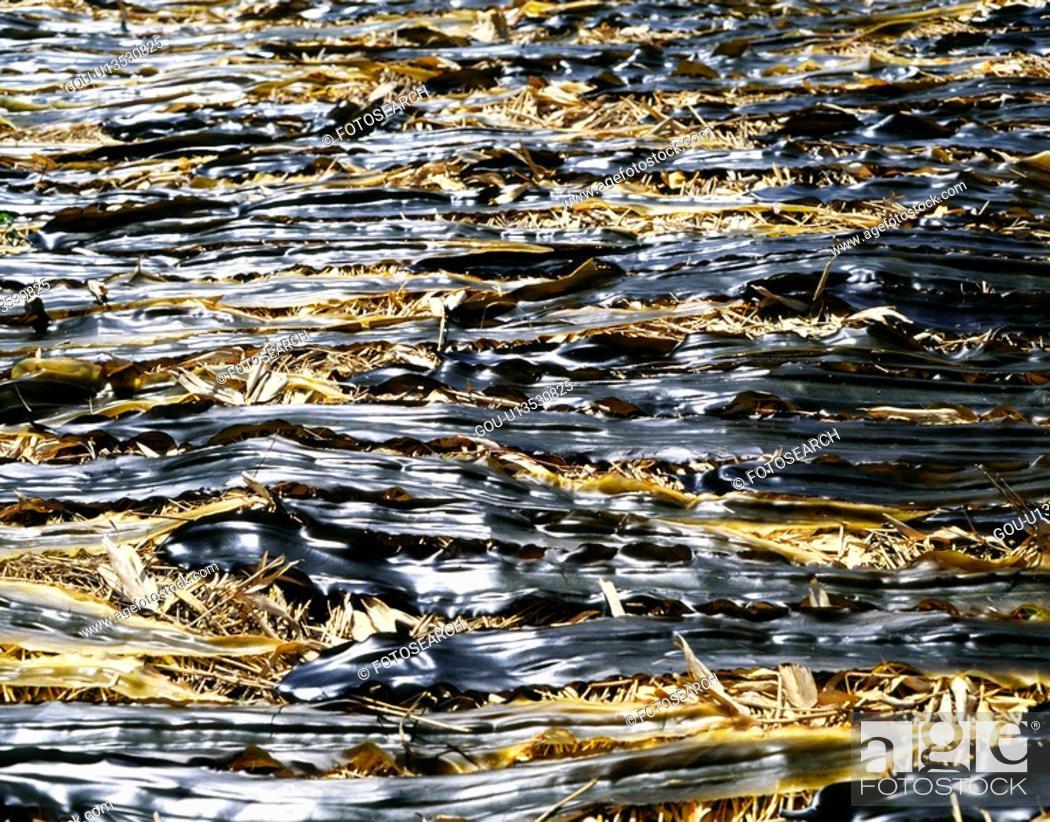 Stock Photo: Seaweed.