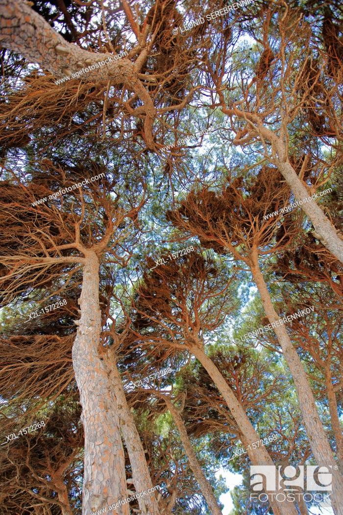 Stock Photo: Canopy of pine trees  La Pineda, Costa Dorada, Catalonia, Spain.