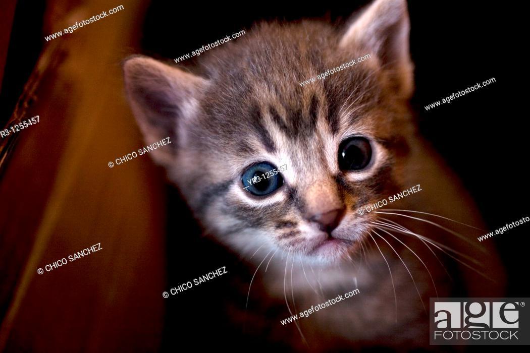 Stock Photo: A kitten looks at the camera in Prado del Rey, Cadiz, Spain.