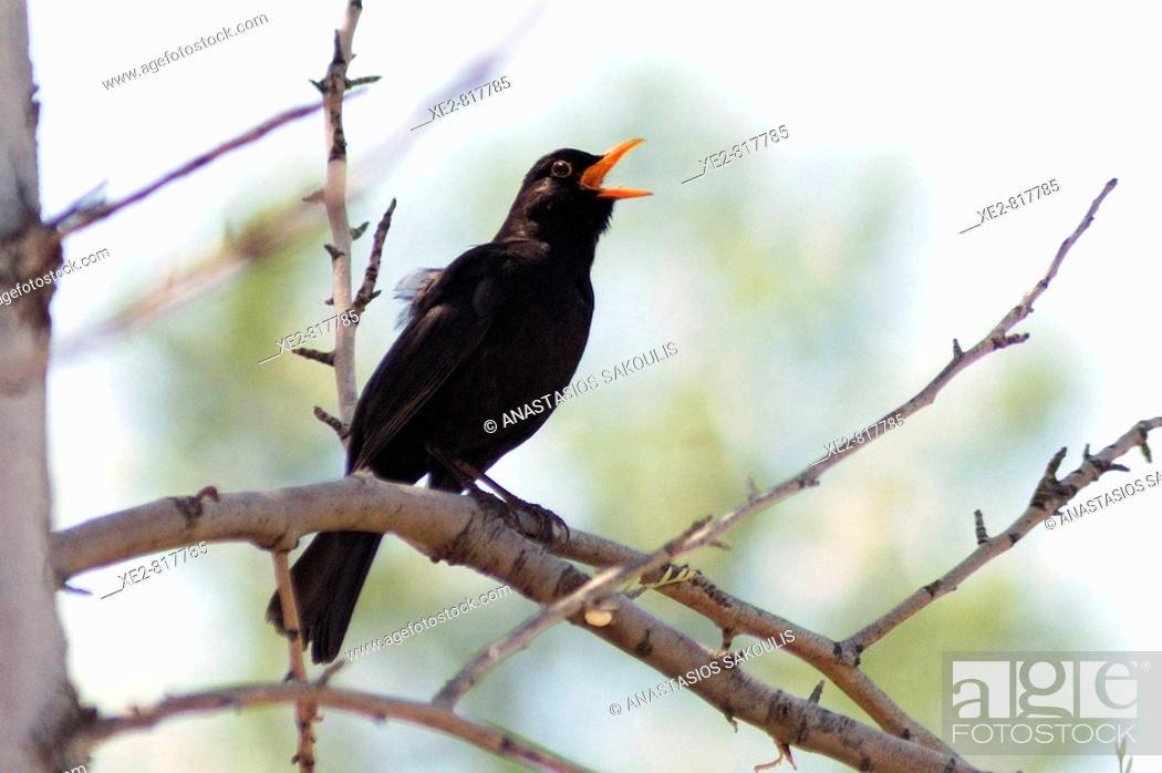 Stock Photo: A male Blackbird Turdus merula singing.