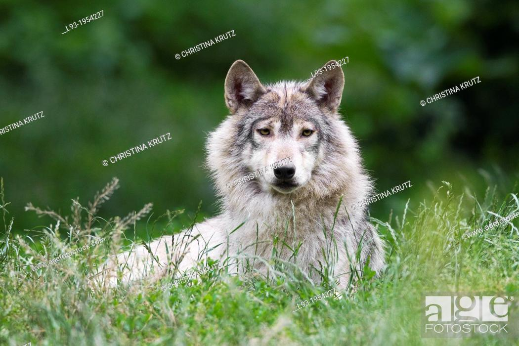 Stock Photo: Timber Wolf (Canis lupus lycaon), Bavaria, Germany.