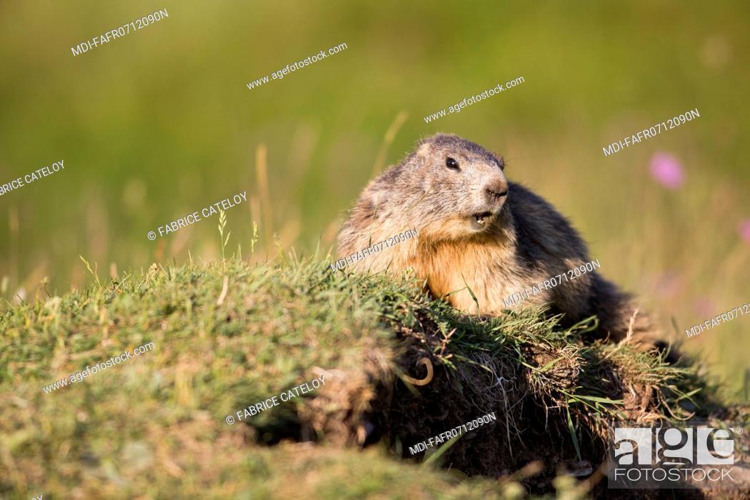 Imagen: Nature - Fauna - Marmot - Marmot in the natural regional park of Queyras.