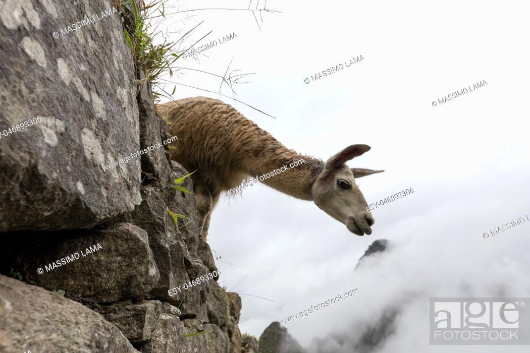 Imagen: LLama in Machu Picchu ( a UNESCO World Heritage Site.