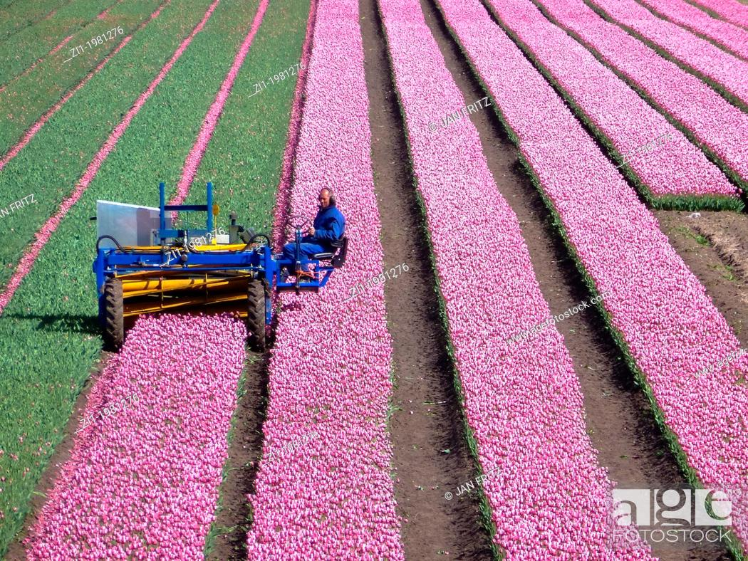Imagen: farmer at work at his tulip field in the polder the Beemster in The Netherlands.