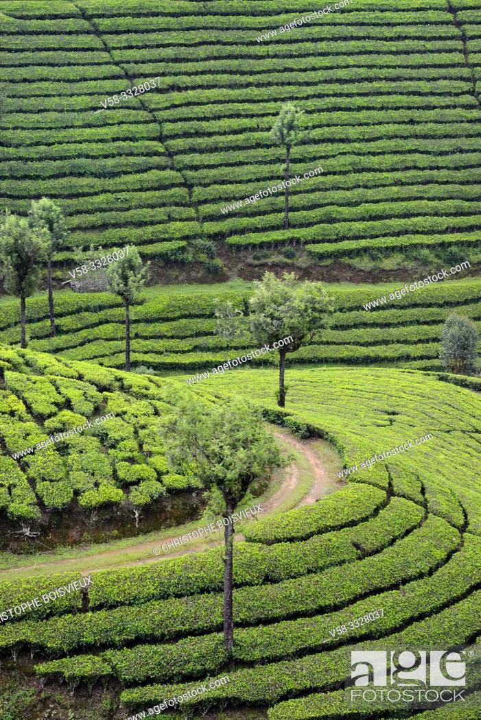 Stock Photo: India, Kerala, Munnar, Lockhart tea plantation.
