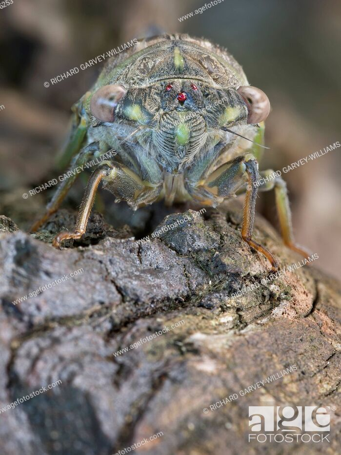 Imagen: Detailed close-up view of the face of a newly emerged adult Cicada (Tibicen plebejus), Greece, Pelion.