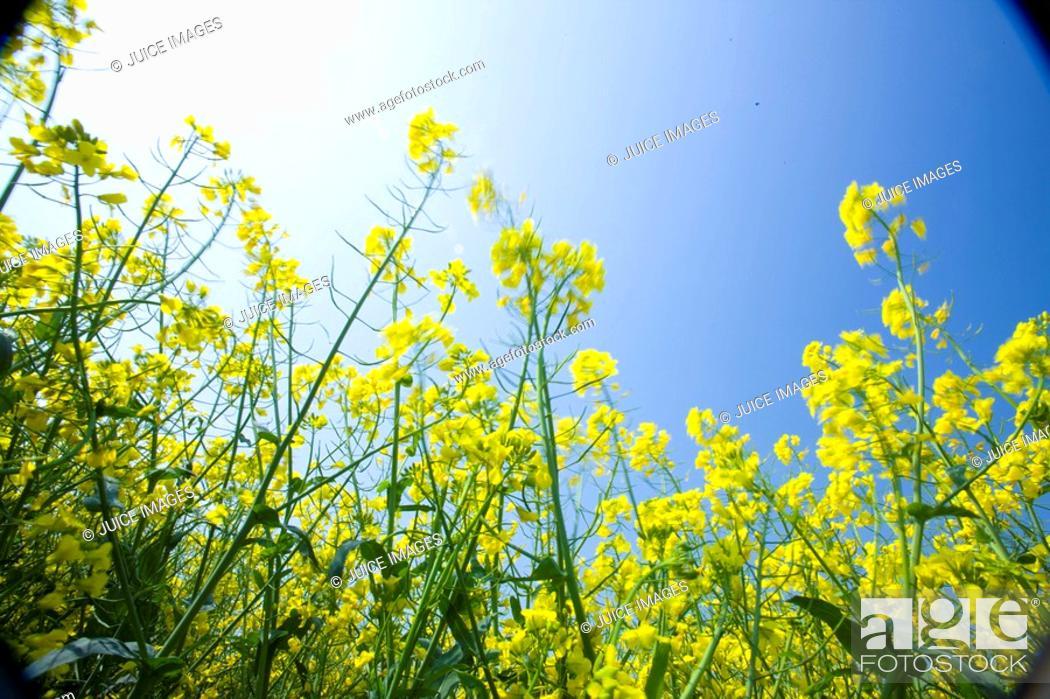 Stock Photo: Close up of canola against blue sky.