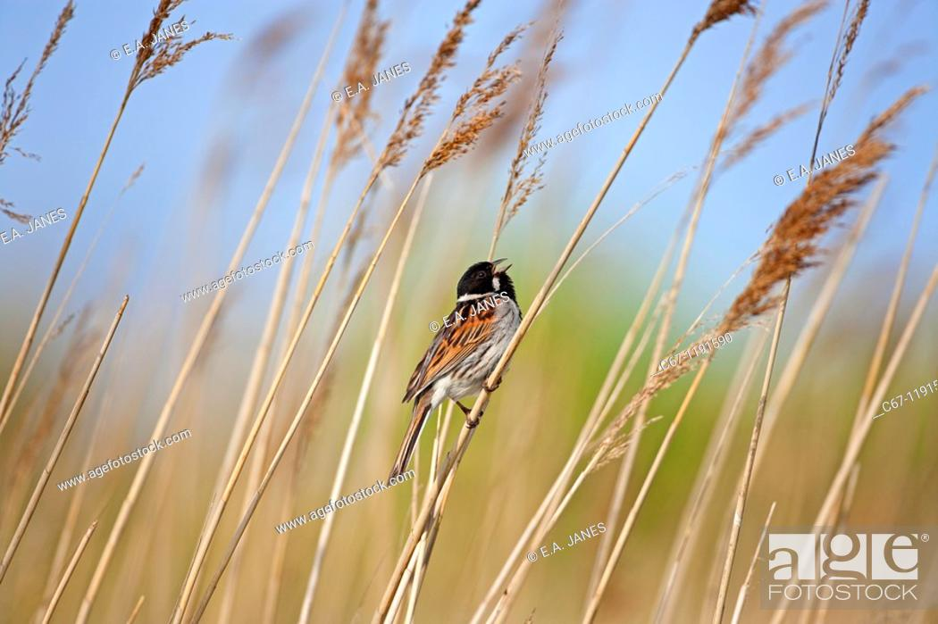 Stock Photo: Male Reed Bunting Mmberiza schoeniclus on reed.