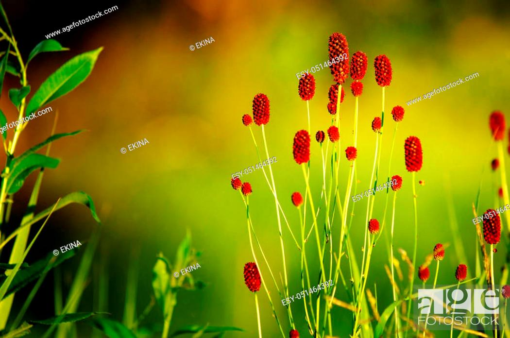 Photo de stock: Sanguisorba officinalis. great burnet. Chinese Herbal Materia Medica by Dan Bensky Di Yu. the root is used to stop bloody dysentery, nosebleeds.