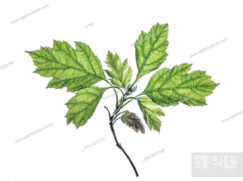 Stock Photo: Leaf of a oakleaf hydrangea.