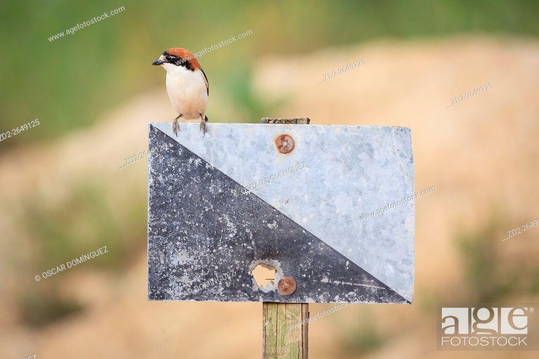 Stock Photo: Female Woodchat Shrike (Lanius senator) perched on hunting area signpost. Lleida province. Catalonia. Spain.
