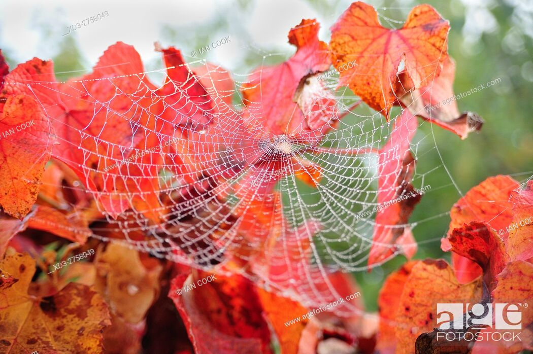 Stock Photo: spider web in red leaves, Lauzun, Lot-et-Garonne Department, Aquitaine, France.