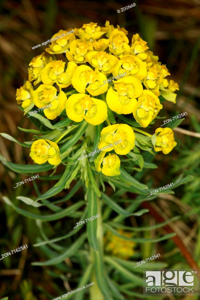 Stock Photo: Cypress spurge, Euphorbia cyparissias.