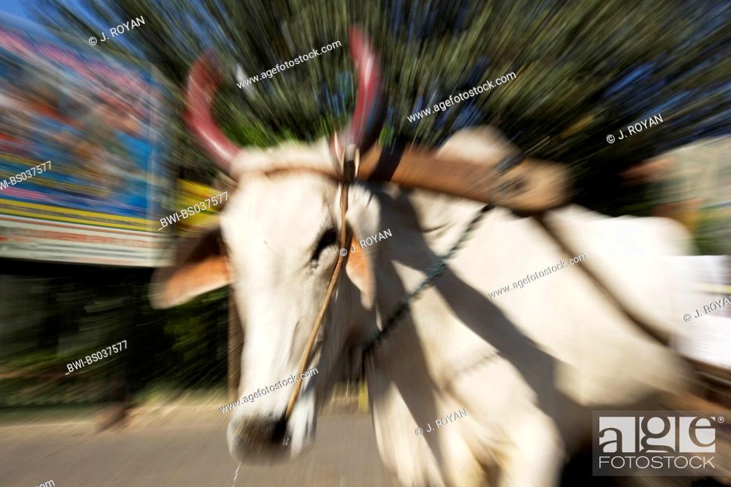 Stock Photo: domestic cattle (Bos primigenius f. taurus), holy cow, India.