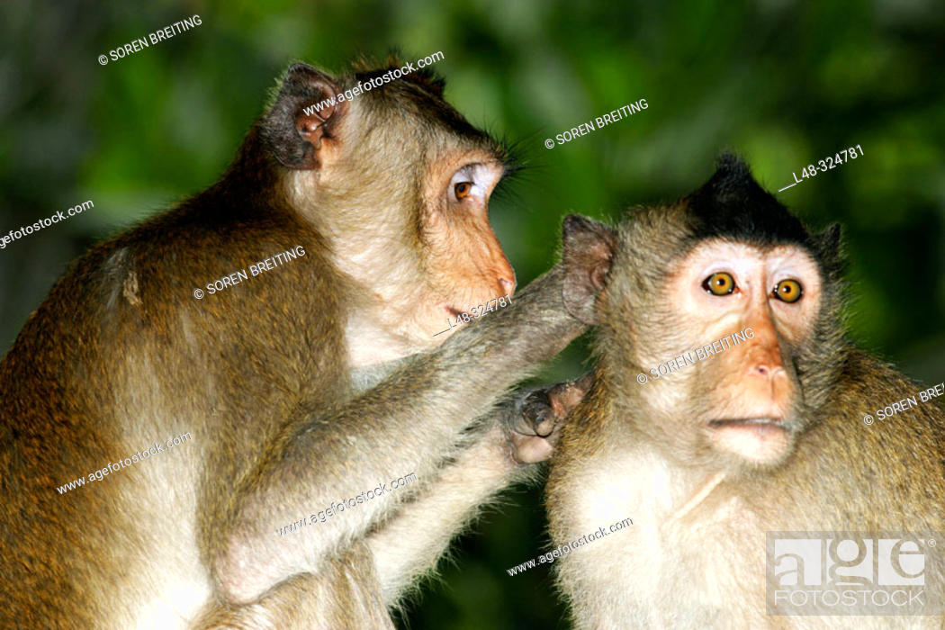 Stock Photo: he Long-tailed Macaques (Macaca fascicularis), also called crab-eating monkeys or crab-eating macaques, cleaning each other for ticks and lice in the flock.