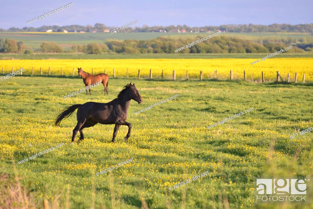 Stock Photo: HORSE FROLICKING ON THE PLAIN OF LE HABLE D'AULT, SOMME (80), PICARDIE, FRANCE.