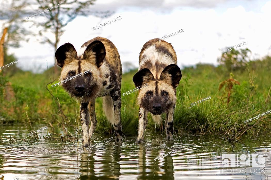 Stock Photo: AFRICAN WILD DOG lycaon pictus, PAIR ENTERING WATER, NAMIBIA.