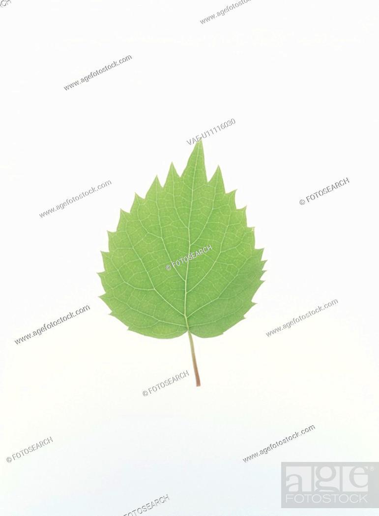 Stock Photo: Green Leaf.