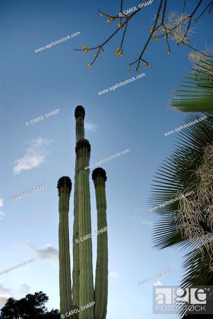 Stock Photo: Cactus, Saguaro cactus, Carnegiea gigantea.