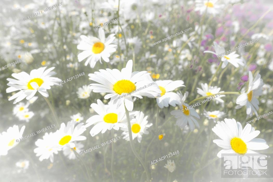 Stock Photo: Ox eye daisies.