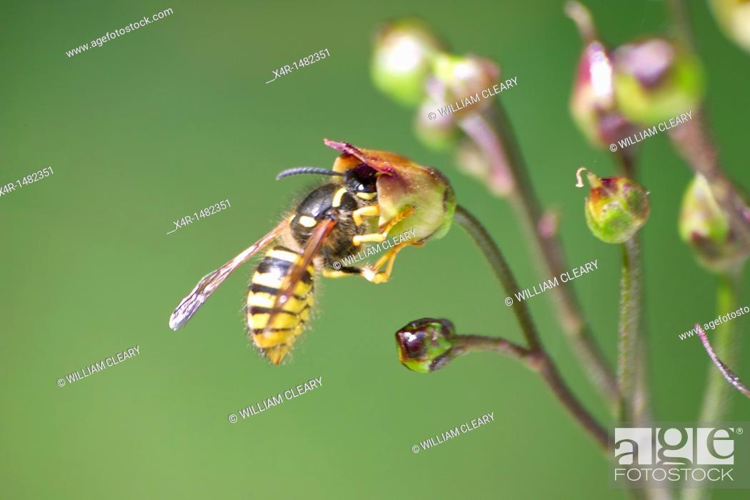 Stock Photo: Common wasp (Vespula vulgaris).