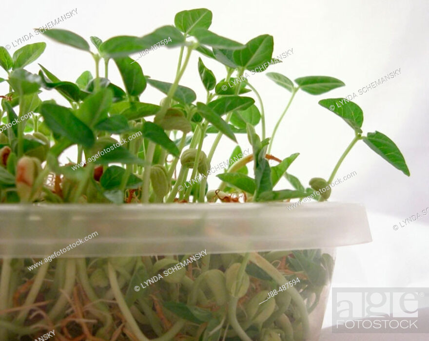 Stock Photo: Bean Sprouts.
