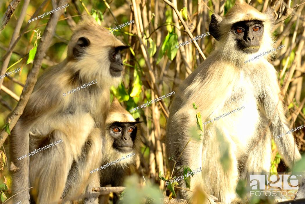 Tufted grey langurs (Semnopithecus priam) in Chinnar