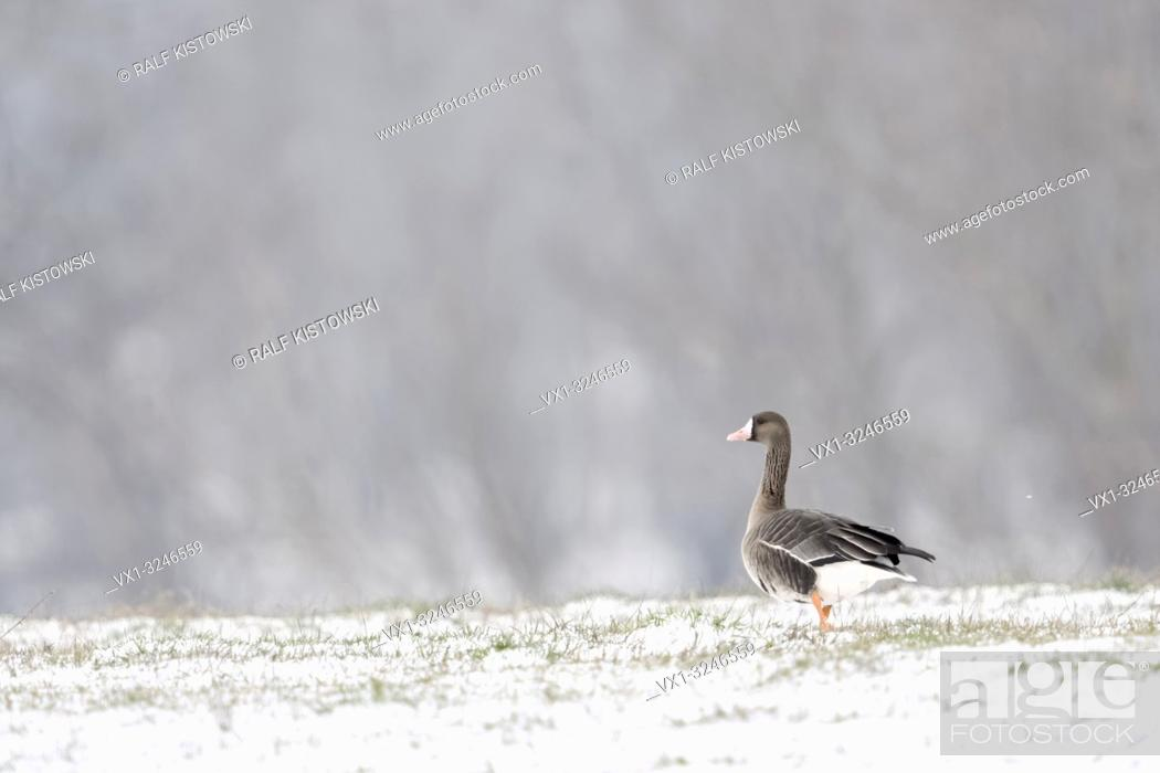 Stock Photo: White-fronted Goose / Blaessgans ( Anser albifrons ) on snow covered grassland, single bird, in front of typical background, walking away, wildlife, Europe.