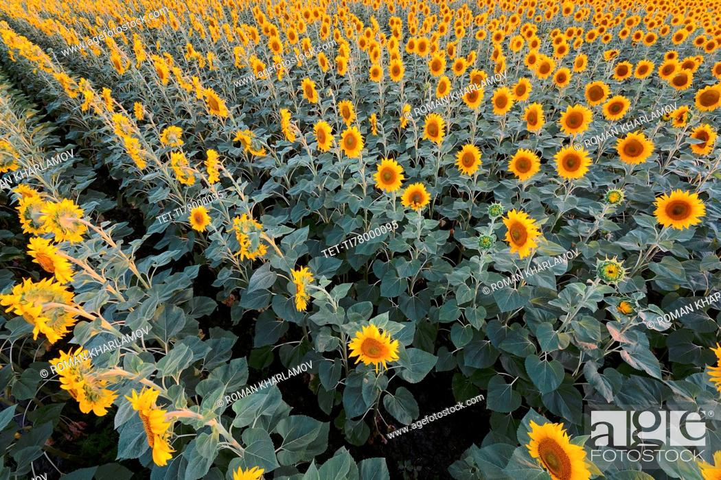 Stock Photo: High angle view of sunflower field.