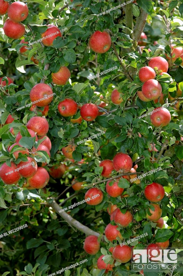 Stock Photo: apple tree Malus domestica, mature red apples, Germany, Bavaria.