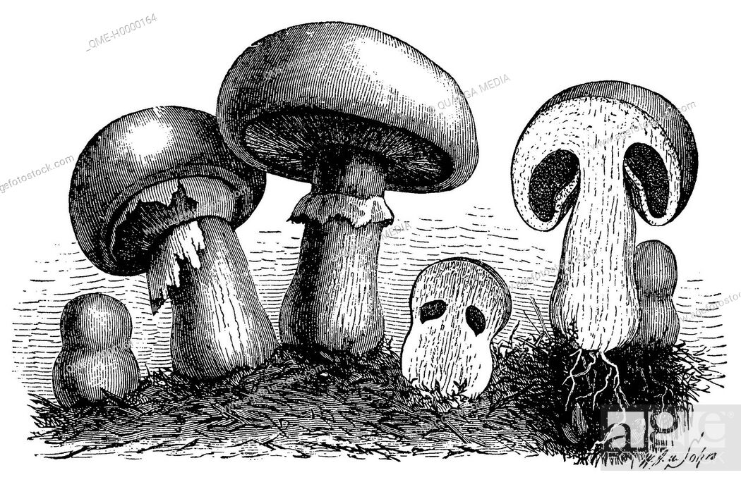 Stock Photo: Field mushrooms in various stages of development.