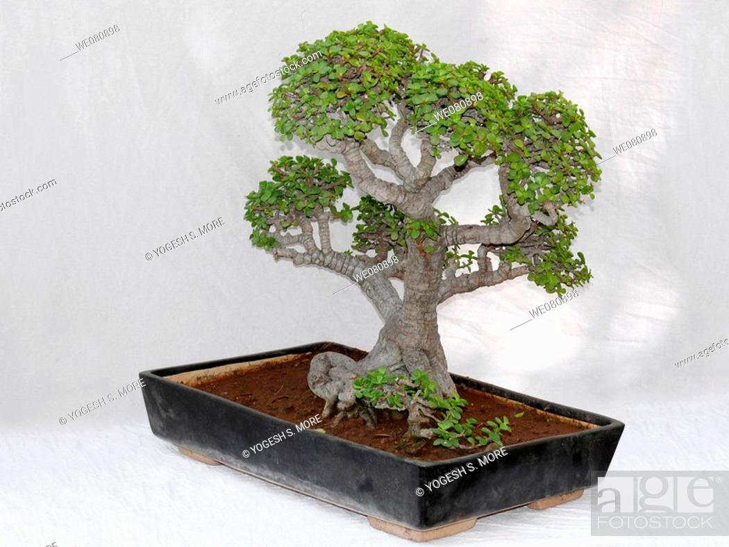Dwarf Jade Bonsai Tree A Fleshy Softly Woody Shrub Or Small Tree Up To 3m To 4m Stock Photo Picture And Royalty Free Image Pic We080898 Agefotostock