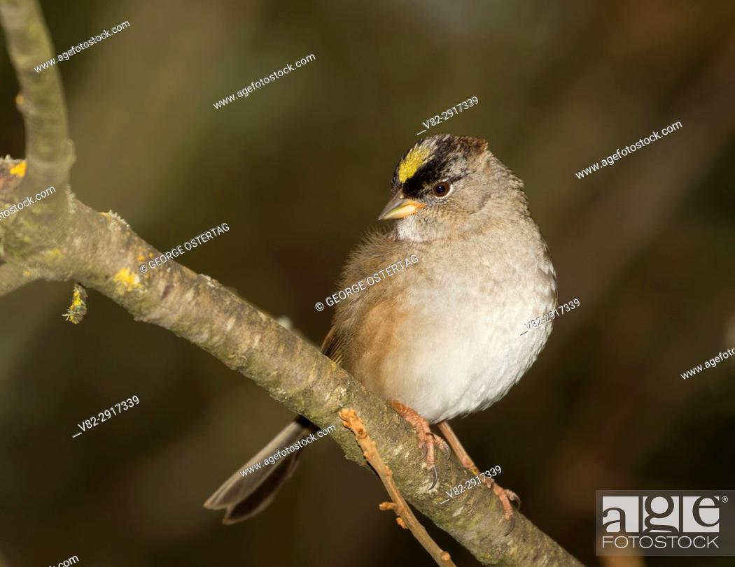 Stock Photo: Sparrow, Baskett Slough National Wildlife Refuge, Oregon.