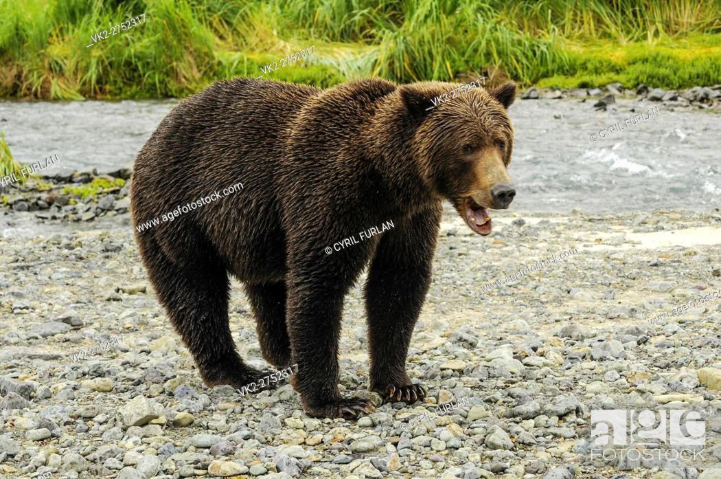 Stock Photo: Grizzly Sow Mouth Open, Katmai National Park Alaska.