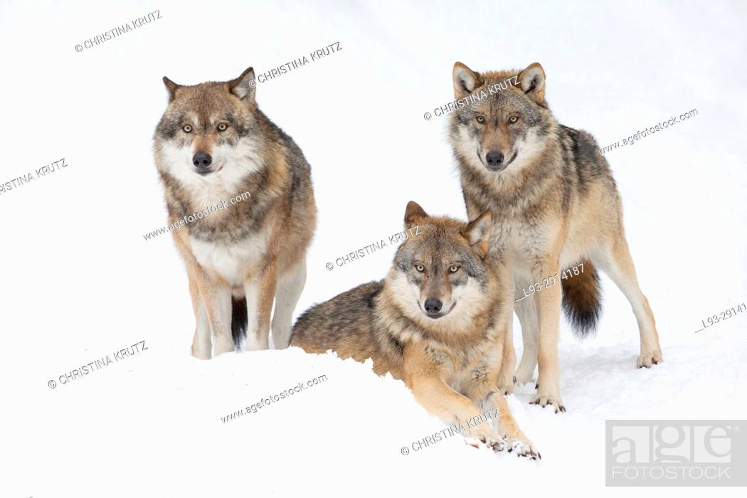 Stock Photo: Wolves (Canis lupus) in winter, Bavarian Forest National Park, Germany.
