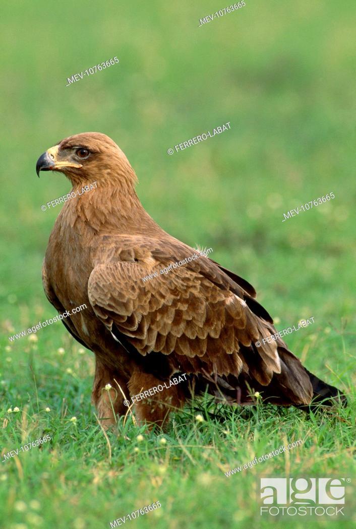 Stock Photo: TAWNY EAGLE IN GRASS (Aquila rapax).