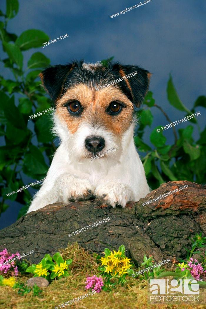 Stock Photo: Parson Russell Terrier Portrait.