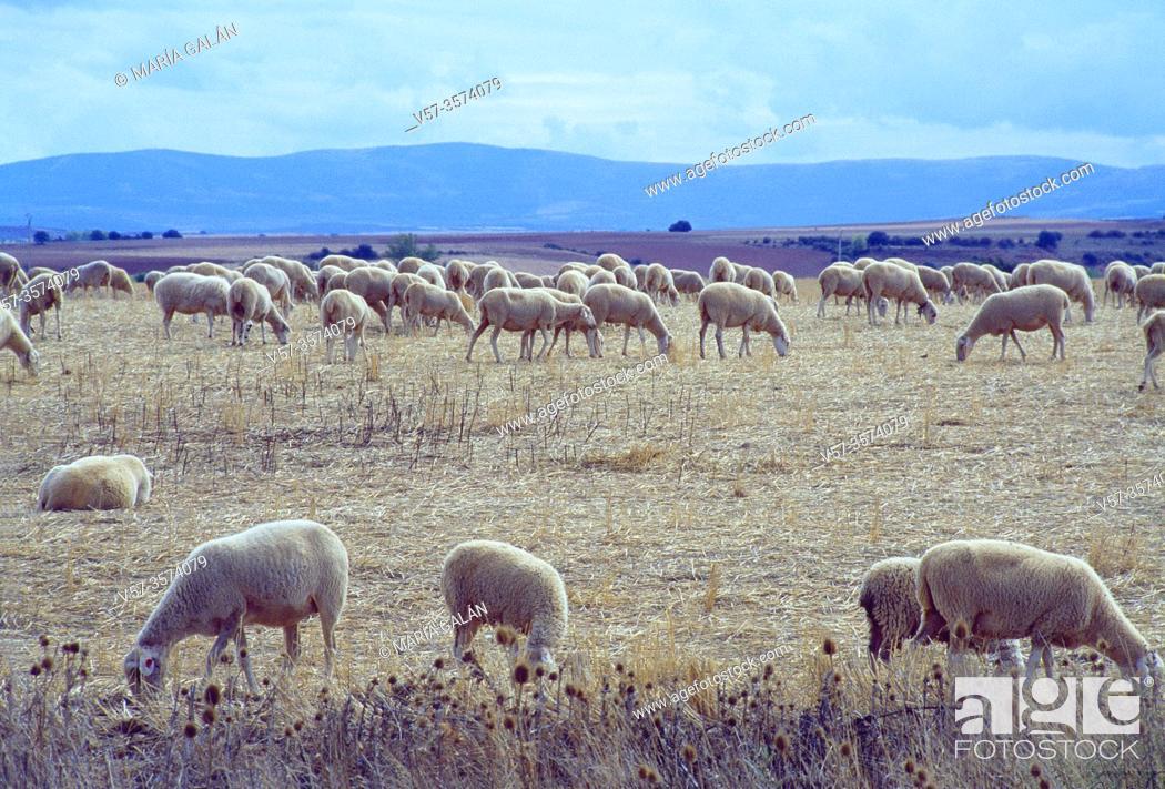 Stock Photo: Flock of sheep. Sierra de Ayllon, Segovia province, Castilla Leon, Spain.