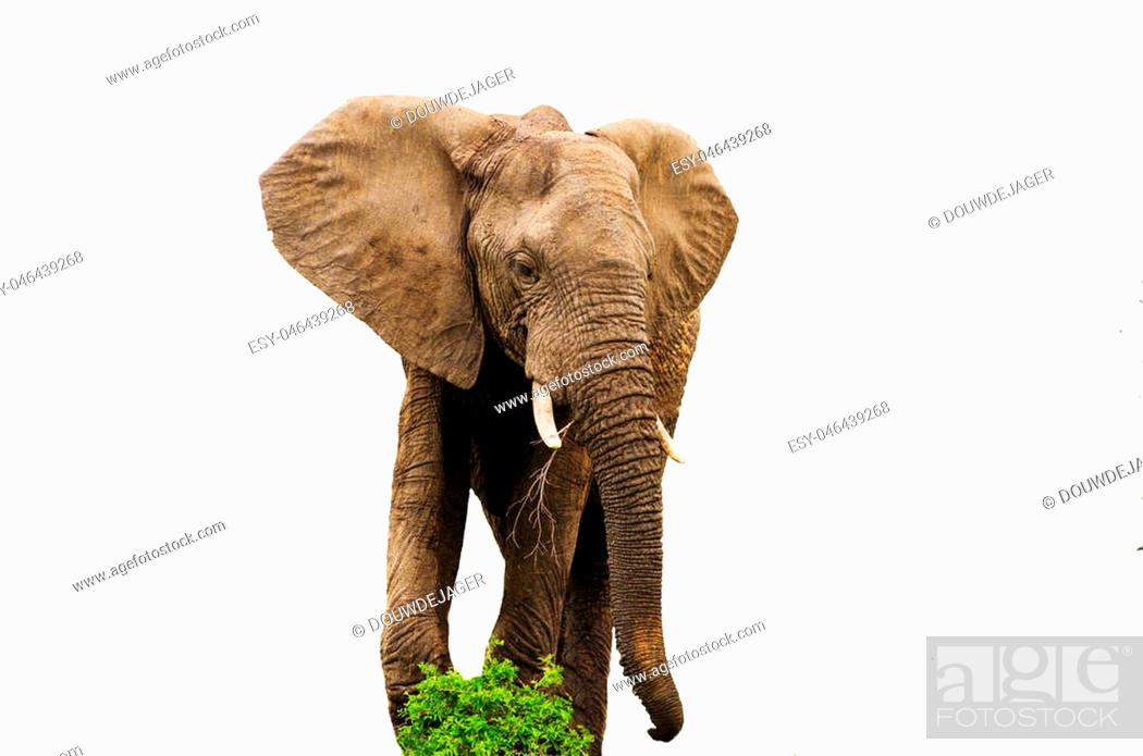 Imagen: Big african elephant eating isolated on white background with green plants by feet.