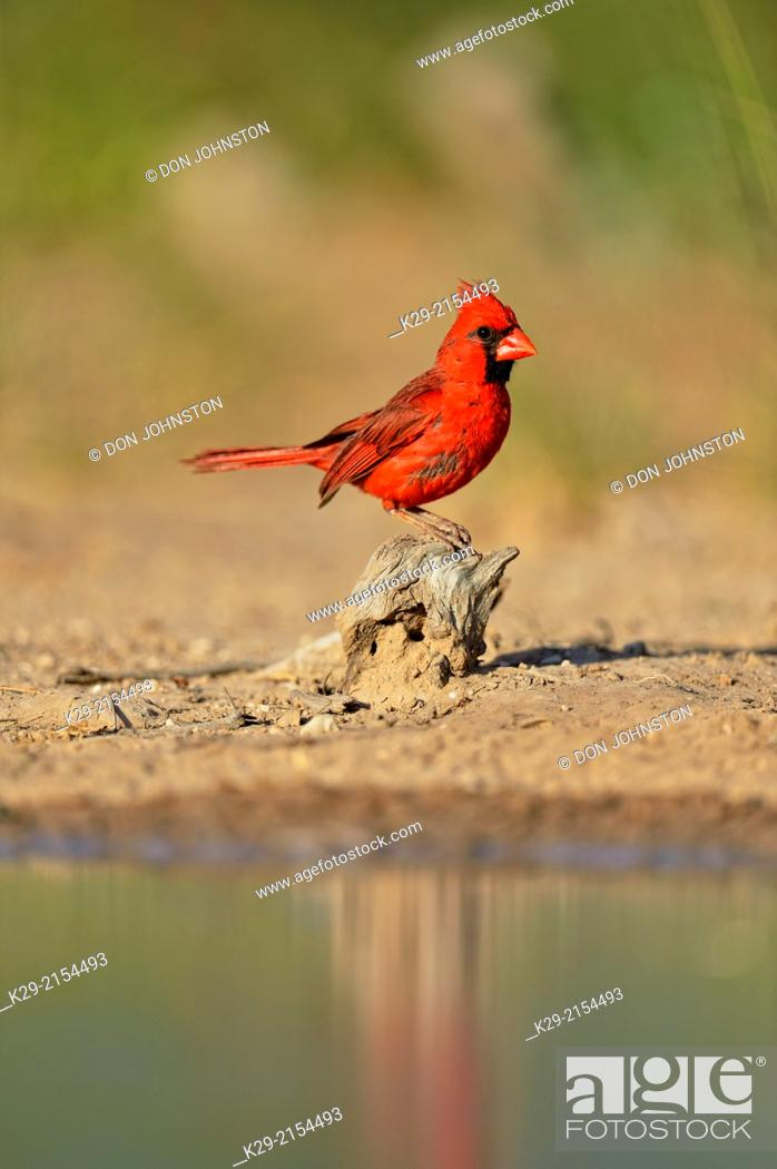 Stock Photo: Northern Cardinal (Cardinalis cardinalis) Male, Rio Grande City, Texas, USA.