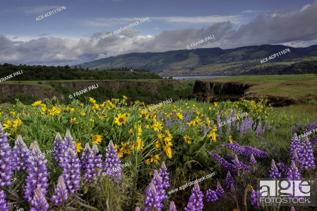 Stock Photo: Columbia River Gorge, Oregon, USA, Balsamroot and Lupine wildflowers.