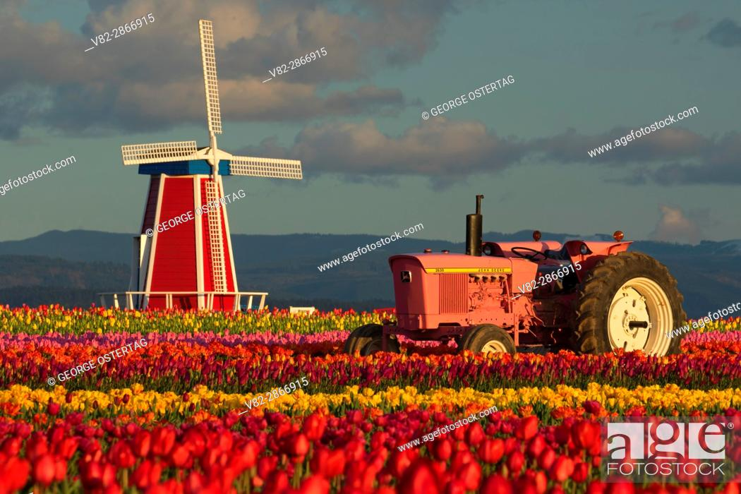 Stock Photo: Tulip field with tractor and windmill, Wooden Shoe Bulb Co. , Clackamas County, Oregon.