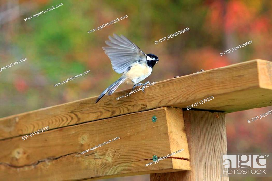 Imagen: Black-capped Chickadee.
