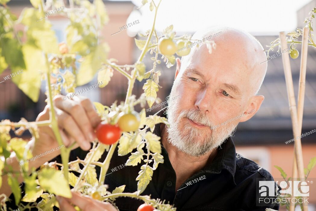 Stock Photo: Old man gardening, taking care of plants and vegetables on balcony. Concept of green lifestyle and urban garden.