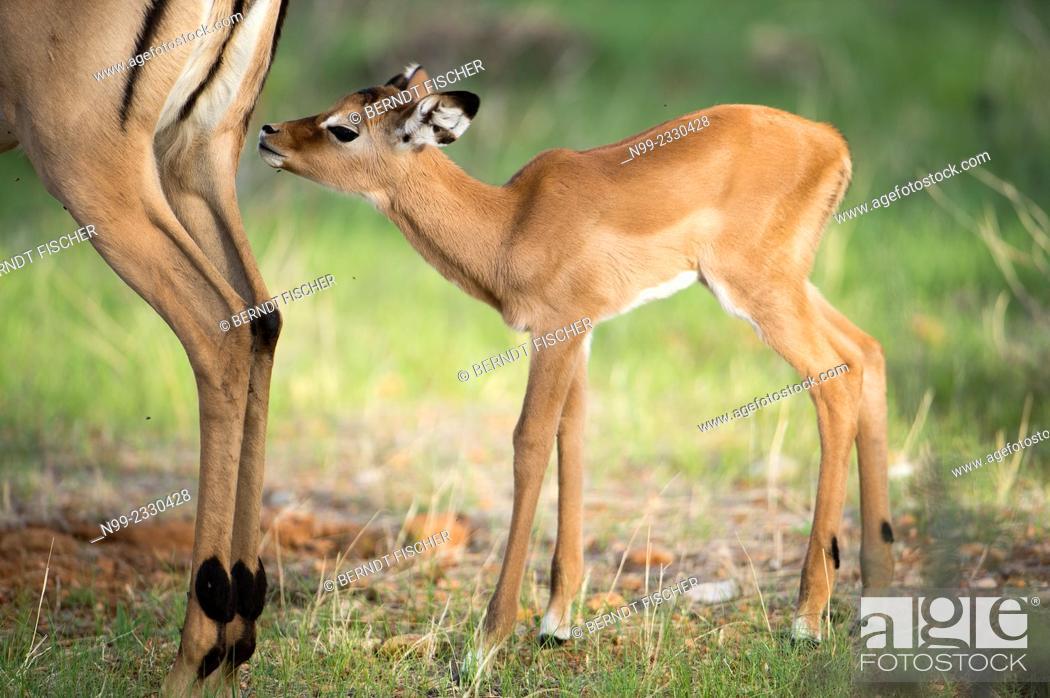 Imagen: Impala (Aepyceros melampus), new-born cub sniffing at its mother, Samburu National Reserve, Kenya.
