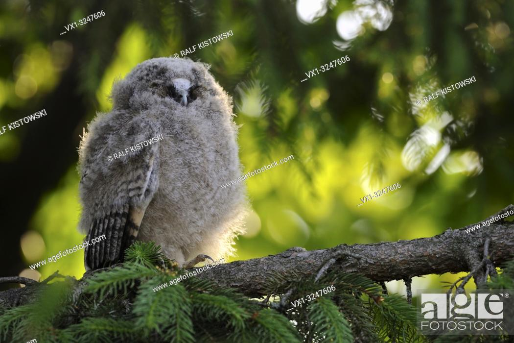 Imagen: Long-eared Owl / Waldohreule ( Asio otus ), funny fledgling, young moulting chick, perched in a tree, resting, sleeping, looks funny, wildlife, Europe.